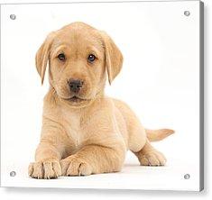 Yellow Labrador Retriever Puppy Acrylic Print by Mark Taylor
