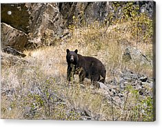 231p Black Bear Acrylic Print by NightVisions