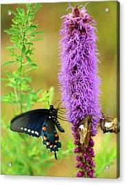 237 Butterfly Acrylic Print