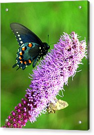 242 Butterly Acrylic Print