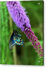 243 Butterfly Acrylic Print