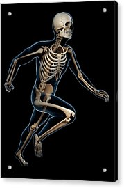 Skeletal System Of Runner Acrylic Print by Sebastian Kaulitzki