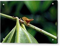 Treehopper Acrylic Print by Patrick Landmann/science Photo Library