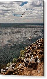 South America, Falkland Islands Acrylic Print by Jaynes Gallery
