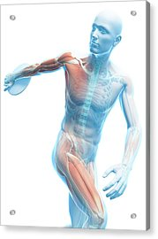 Male Musculature Acrylic Print by Sciepro/science Photo Library