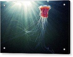 Lion's Mane Jellyfish Acrylic Print by Alexander Semenov