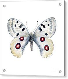 28 Apollo Butterfly Acrylic Print by Amy Kirkpatrick