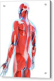 Human Back Muscles Acrylic Print by Sebastian Kaulitzki