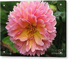 Dahlia From The Showpiece Mix Acrylic Print by J McCombie