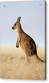 Eastern Grey Kangaroo Or Forester Acrylic Print