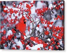 Northern Cardinal (cardinalis Cardinalis Acrylic Print by Richard and Susan Day