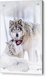 Timber Wolf Pictures Acrylic Print by Michael Cummings