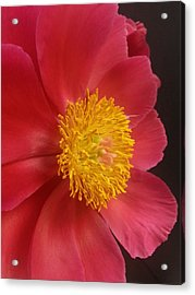 2nd Peony Acrylic Print by Heather L Wright