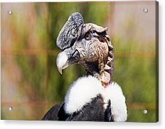 Andean Condor Acrylic Print by Philippe Psaila/science Photo Library