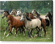 Arabian Horses Acrylic Print by Angel  Tarantella