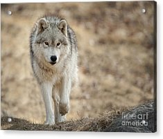 Acrylic Print featuring the photograph Arctic Wolf by Wolves Only