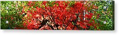 Autumn Leaves, Westonbirt Arboretum Acrylic Print by Panoramic Images