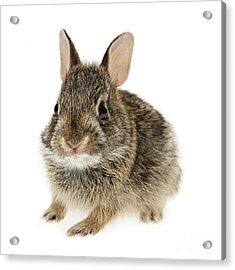 Baby Cottontail Bunny Rabbit Acrylic Print