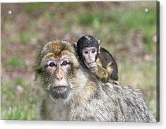 Barbary Macaques Acrylic Print by M. Watson