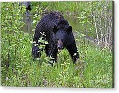Black Bear Acrylic Print by Linda Freshwaters Arndt