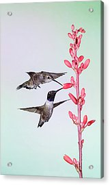 Black-chinned Hummingbird (archilochus Acrylic Print by Larry Ditto