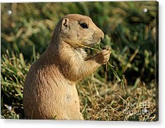 Black-tailed Prairie Dog Acrylic Print by George Atsametakis