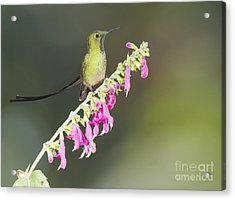 Black-tailed Train Bearer Hummingbird Acrylic Print by Dan Suzio