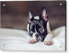 Boston Terrier Puppy Acrylic Print
