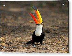 Brazil, Mato Grosso, The Pantanal, Toco Acrylic Print