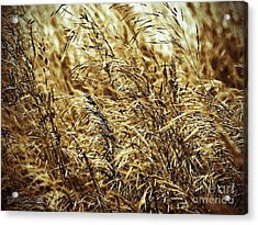Brome Grass In The Hay Field Acrylic Print by J McCombie