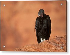 California Condor Acrylic Print by Art Wolfe