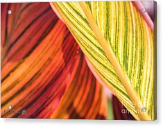 Canna Lily Named Durban Acrylic Print by J McCombie