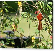 Cardinal Acrylic Print by Bill Wakeley