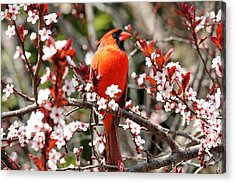 Acrylic Print featuring the photograph Cardinal by Trina  Ansel
