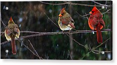 3 Cardinals On A Branch  Acrylic Print