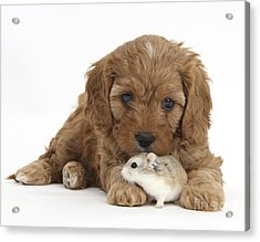Cavapoo Puppy And Roborovski Hamster Acrylic Print