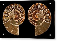 Ceratites Ammonite Fossil Acrylic Print