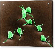 Chlamydomonas, Sem Acrylic Print