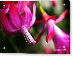 Christmas Cactus In Bloom Acrylic Print by Thomas R Fletcher