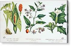 Common Poisonous Plants Acrylic Print by English School