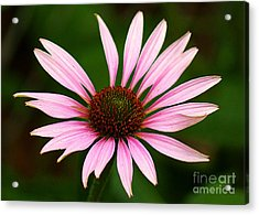 Acrylic Print featuring the photograph Coneflower - Echinacea by Lisa L Silva