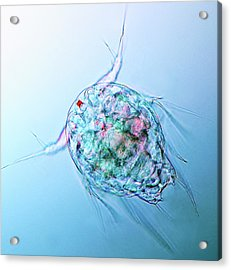 Copepod Larva Acrylic Print by Marek Mis