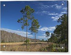 Corkscrew Swamp Acrylic Print