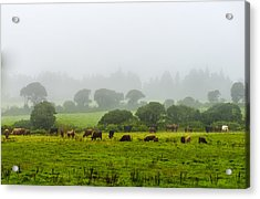 Cows At Rest Acrylic Print