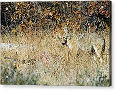 Coyotes Acrylic Print