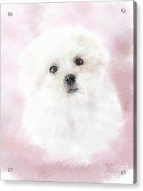 Cute Maltese Acrylic Print by Monika Wisniewska