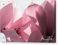 Cyclamen Acrylic Print by Rebeka Dove