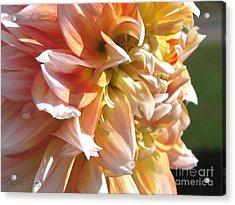 Dahlia Named Peaches-n-cream Acrylic Print by J McCombie