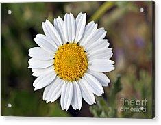 Acrylic Print featuring the photograph Daisy Flower by George Atsametakis