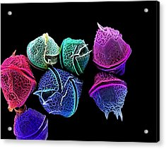 Diatoms, Sem Acrylic Print by Science Photo Library